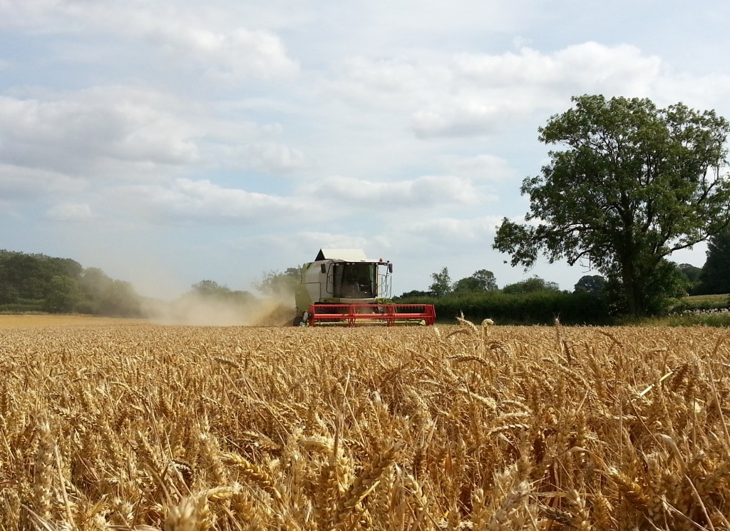 combing-wheat