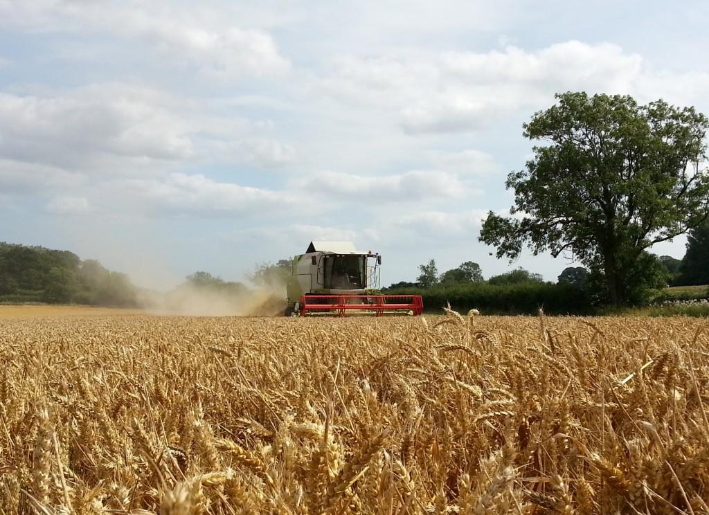 combing-wheat